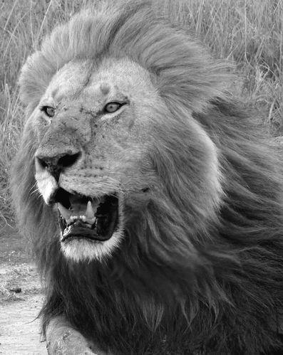 Lion N et B