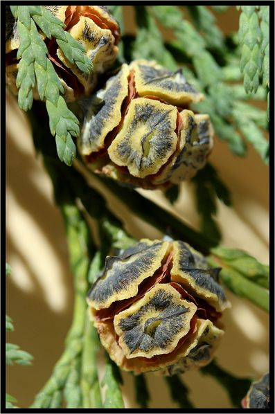 Thuya-cones-femelles-6354.jpg