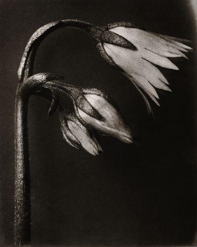 karl blossfeldt fine art 36