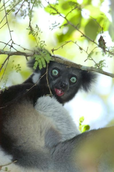 4051-Indri-Perinet--sciencesblog.jpg