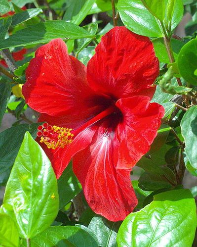 479px-Red_hibiscus.JPG