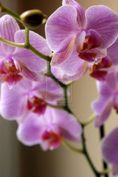 orchidee_by_silly_world.jpg