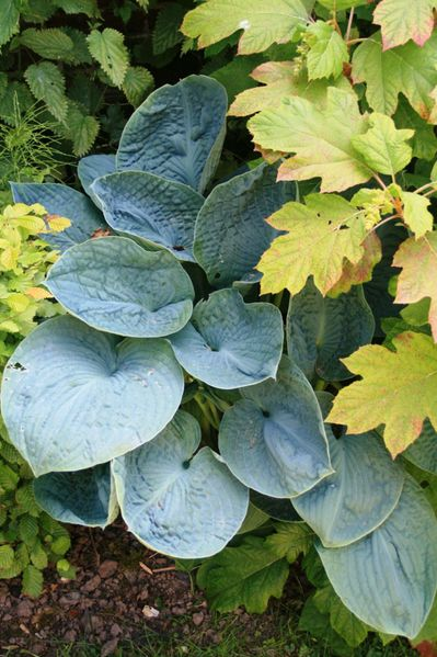 Hosta--Big-Daddy---HDTV--720--.JPG