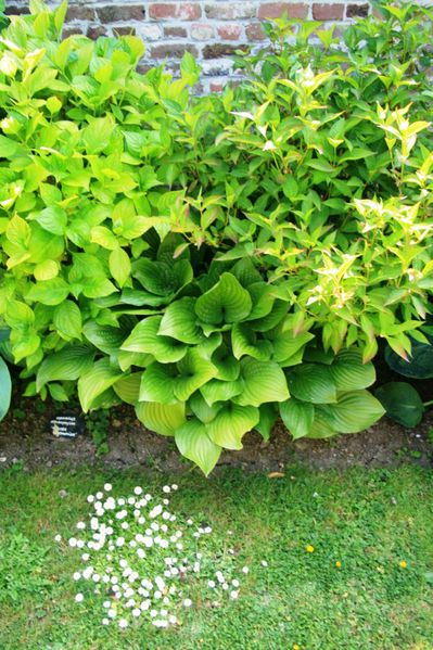 Hosta--Royal-Standart---HDTV--720--.JPG