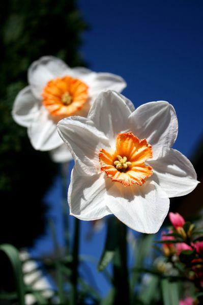 les-fleurs-du-jardin-5560.JPG