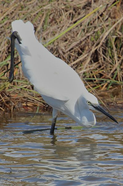 aigrette acrobatique