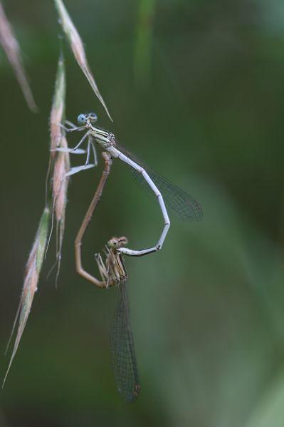 macro libellule jeantet catherine