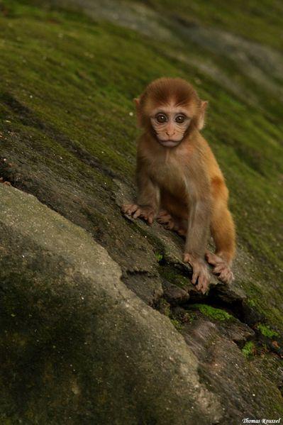 Macaque rhésus (Macaca mulatta) (12)