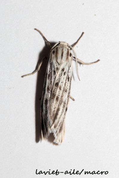 Coscinia-cibraria-le-crible 7785cc