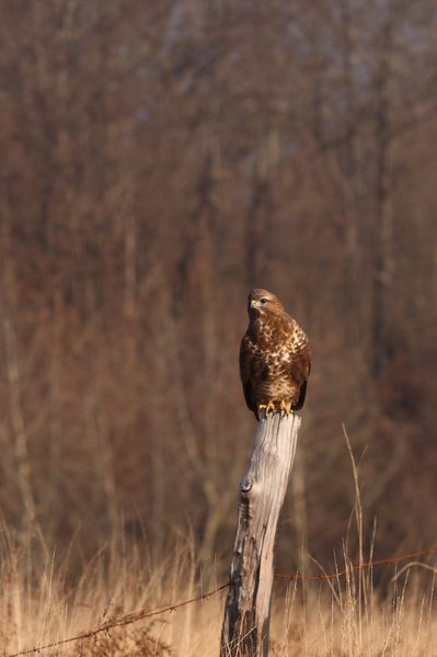 buse variable5