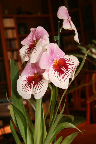 orchidee-pensee-2w