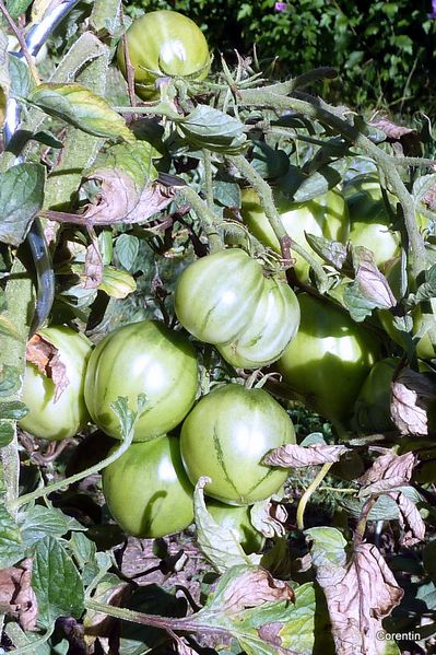 I06---Tomates-vertes.JPG