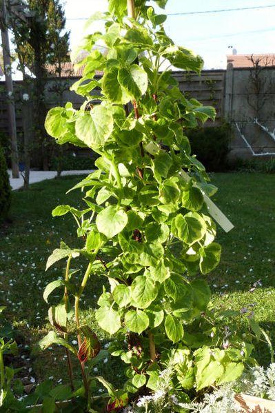 st-jean-de-beauregard---mes-achats---hydrangea-petiolaris-m.jpg