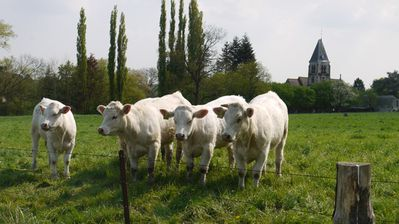 arthies vaches
