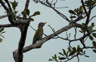 streak-throated-woodpecker-siem-pang--Small-.jpg