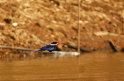 black-capped-kingfisher-nord-kratie--Small-.jpg