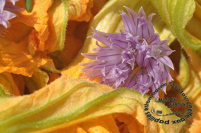 fleur-courgette-ciboulette-02-logo.jpg