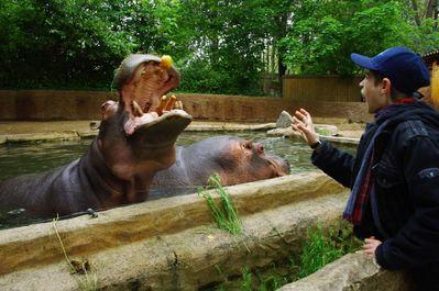 hippopotame (touroparc)