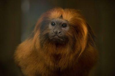 tamarin lion doré (zoo parc de Beauval)