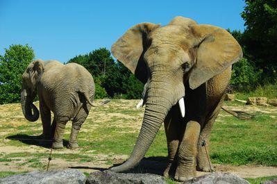 éléphant de savane d'Afrique (zoo de Beauval)