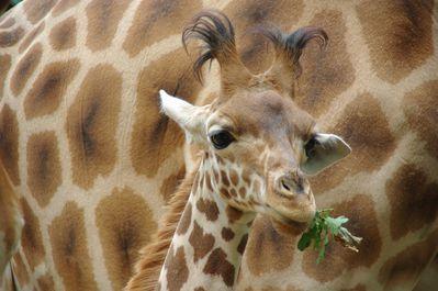 girafon du Niger (touroparc)
