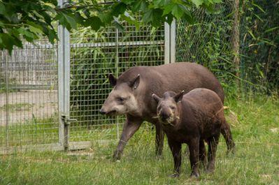tapir terrestre (Zoo parc de Beauval)