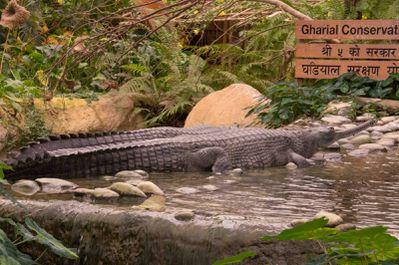 gavial du Gange (la ferme aux crocodiles)