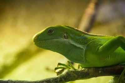 iguane des Fidji (zoo parc de Beauval)