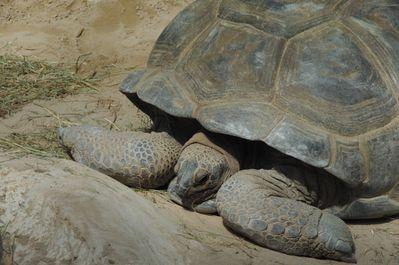 tortue géante d'Aldabra ou des Seychelles (la ferme aux c
