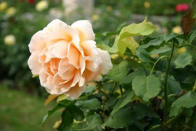 Rose-parfumee-jardin.jpg