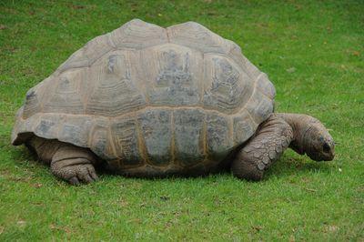 tortue géante d'Aldabra ou des Seychelles (zoo de Beauval)