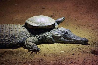 une-tortue-qui-grimpe-tranquillement-sur-le-dos-d-un-crocod.jpg