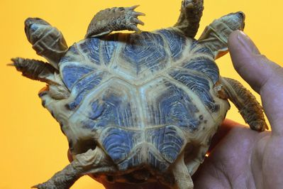 474452-tortue-steppes-siamoise-deux-tetes.jpg