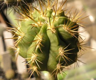 Photo gratuite : Copiapoa solaris - Pilocopiapoa solaris 