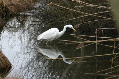 Photo gratuite : Grande Aigrette - Ardea alba - Casmerodius albus - Egretta alba Great Egret - Great White Egret