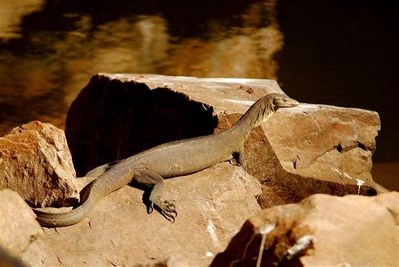 water-monitor-lizard-the-grotto--Small-.jpg