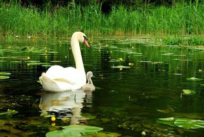 animal cygne419