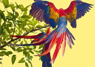 animal-oiseau-perroquet-ara-de-macao--ou-rouge--00-art.jpg