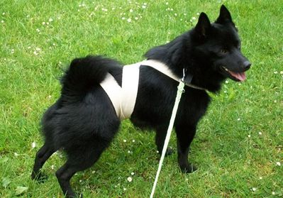schipperke-TTouch-veronique-valy.jpg