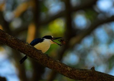 forest-kingfisher-bot-garden-darwin--Small-.jpg