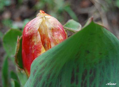 tulipe-bi.JPG