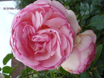 Rose-ancienne-DSC04786-1.JPG