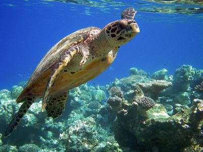 tortue-imbriquee-45.jpg