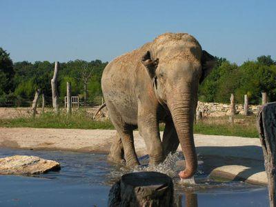 éléphant d'Asie (le Pal)