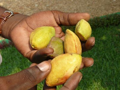 badame-fruit-jaune