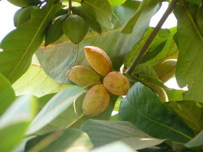 badamier-fruit-mur-badame