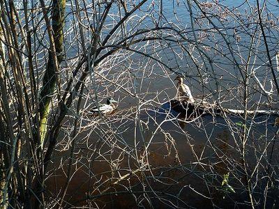 limoges-la-vienne et les canards