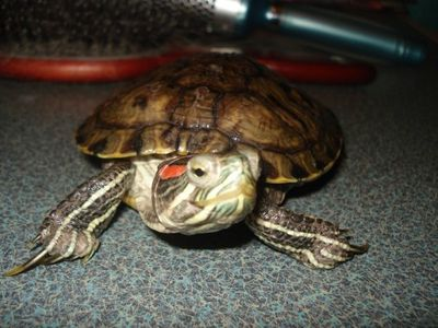 Charley ,tortue de floride (oreille rouge) ,Chateauguay