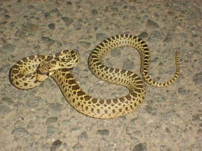 Pituophis catenifer (gopher snake) ,Napa