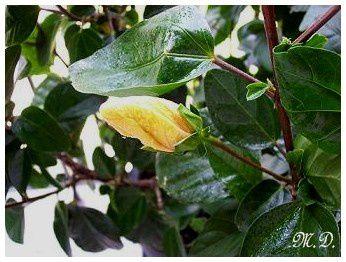 Fleur-hibiscus_3.jpg
